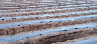 Role of Mulching in Vegetable Cultivation