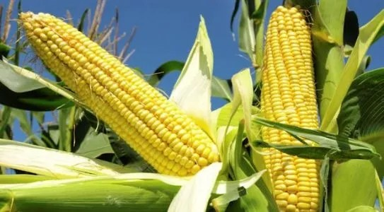 Common Maize Diseases, Symptoms And Treatment