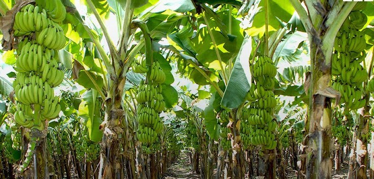 Challenges Facing Plantain Production in Nigeria