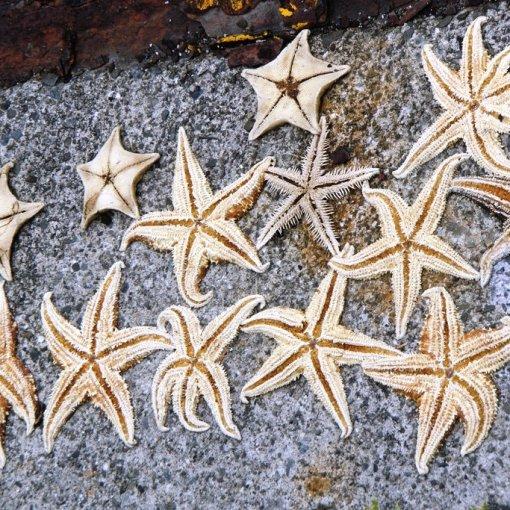 Étoiles de mer séchées dans le port d'Ibukijima