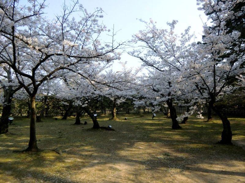 Cerisiers au Parc Ritsurin