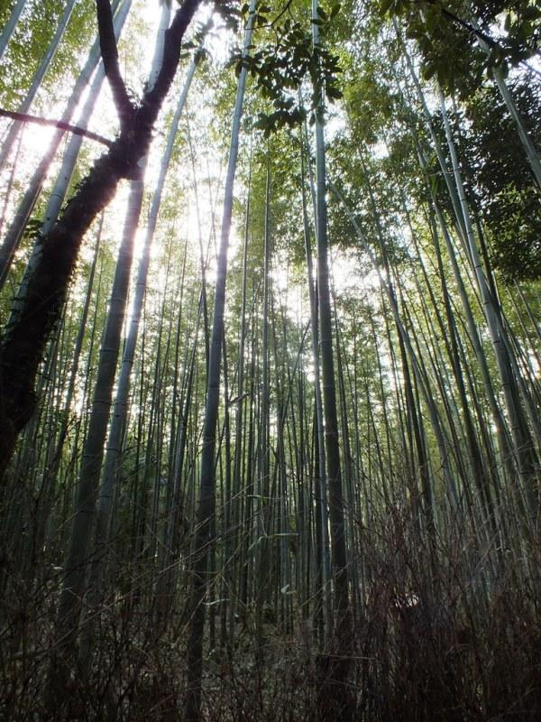Bambous Arashiyama - 1