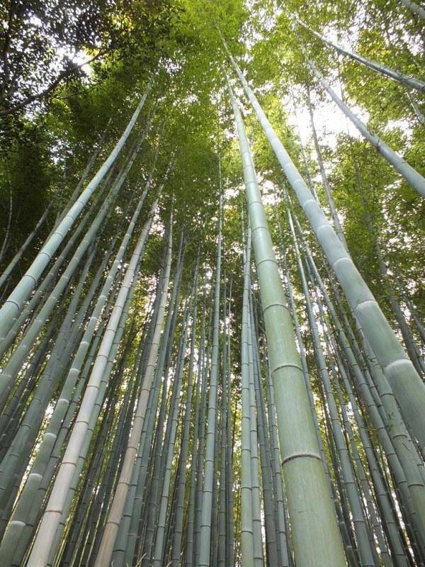 Bambous Arashiyama - 11