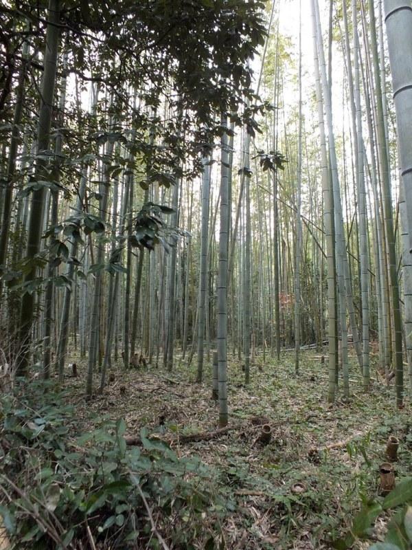 Bambous Arashiyama - 2