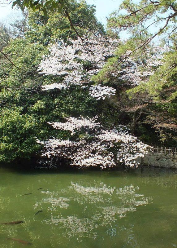 Cerisiers au Parc Ritsurin - 2015 - 13