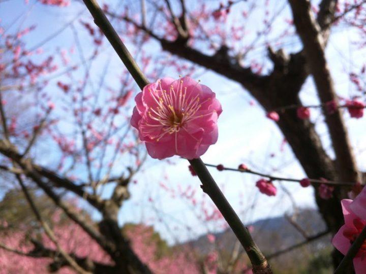 Le printemps arrive - Pruniers - Shikoku Mura - 5