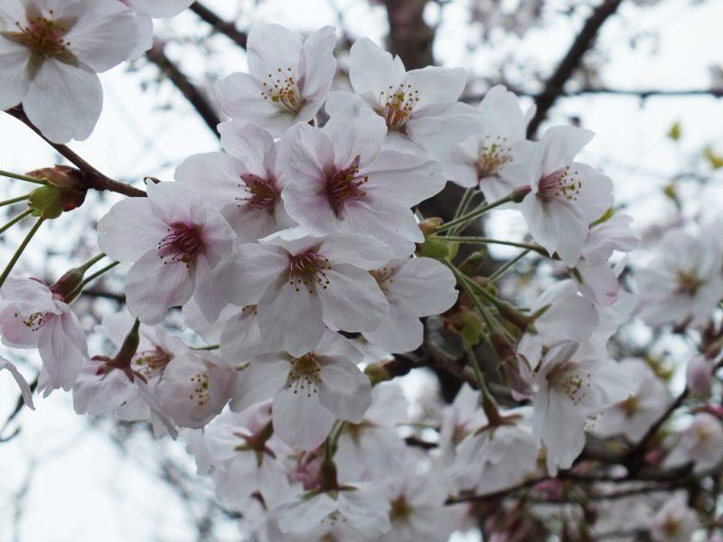 12 - Cerisiers