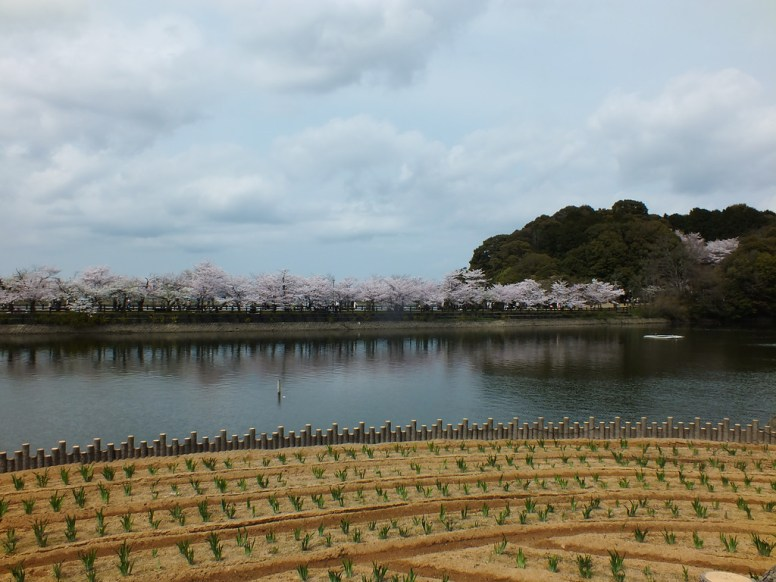 Cerisiers au Parc Kikaku 2017 - 1