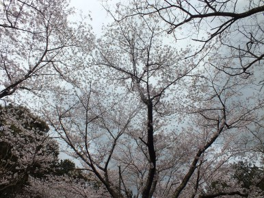 Cerisiers au Parc Kikaku 2017 - 14