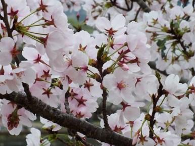 Cerisiers au Parc Kikaku 2017 - 27