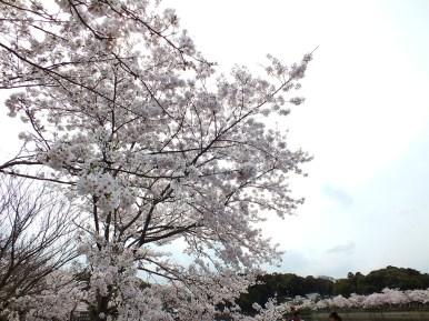 Cerisiers au Parc Kikaku 2017 - 8