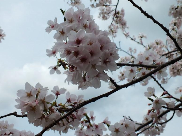 Cerisiers au Parc Kikaku 2017 - 9