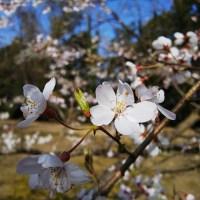 Les Premières Fleurs de Cerisier de l'Année