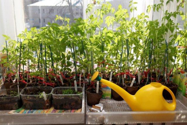 Pencere kenarındaki domates