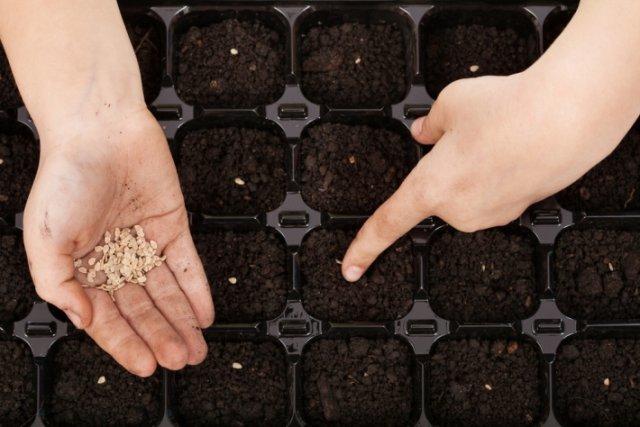 sembrando tomates a plántulas