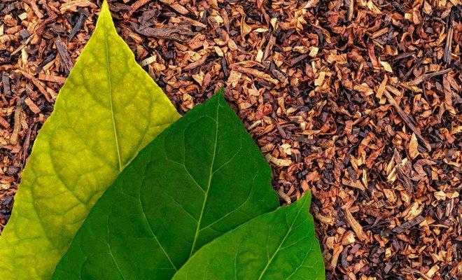 : तंबाकू कैसे विकसित करें