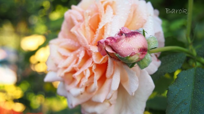 Róża Barok