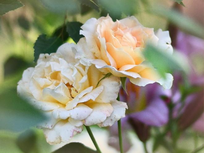 Róża La Perla