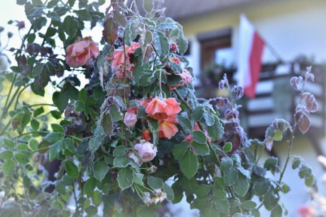 Róża Westerland
