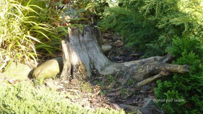 Pnie, korzenie w ogrodzie
