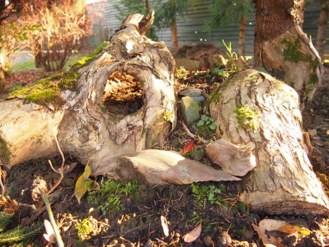 Pnie i korzenie w ogrodzie