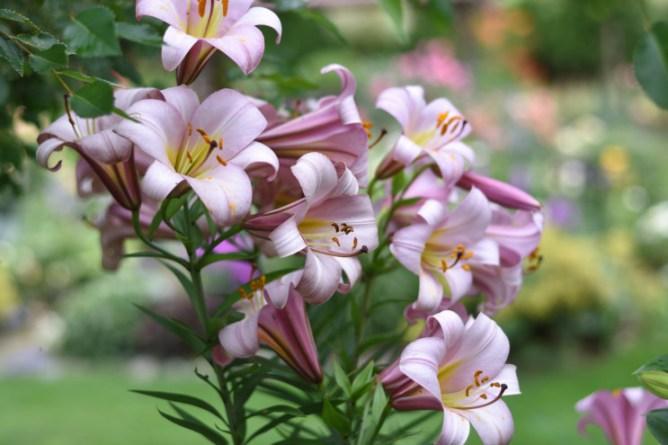 Lilia ogrodowa