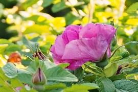 Różana konfitura