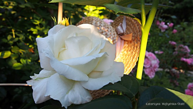 Róża Barock