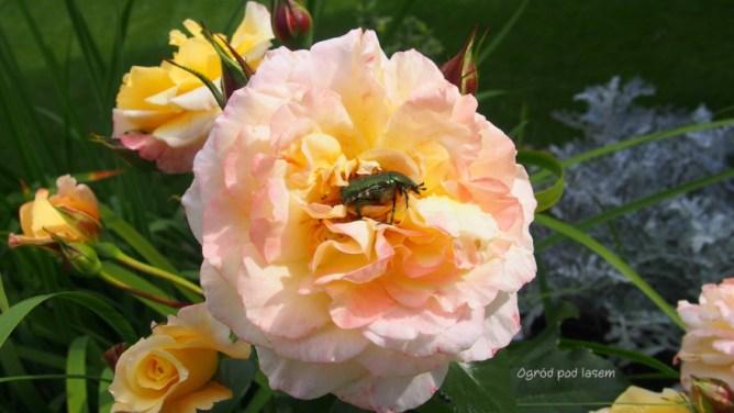 Róża Moonlight