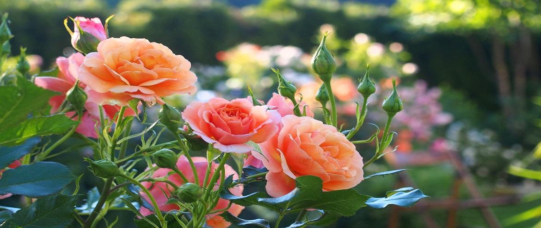 Róża Lambada tańcząca w rytmie lata