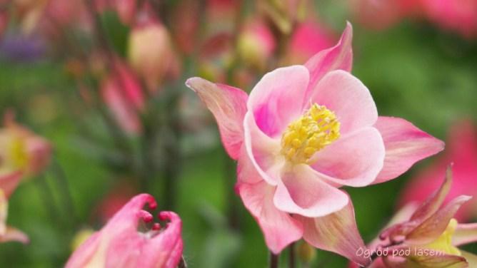 Orlik różowy