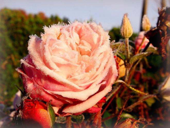 Róża Herkules jesienią