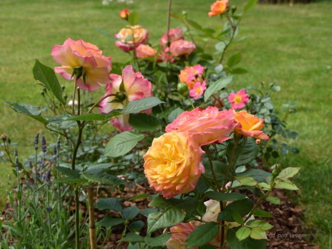 Róża Gartenspass