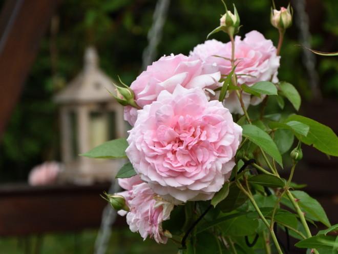 Róża Alexandra Princesse de Luxembourg!