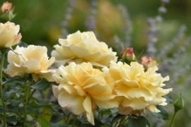 Róża Sunny Sky