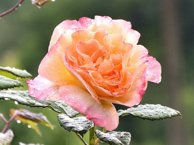 Róża Aquarell