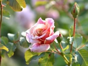Róża Caramella