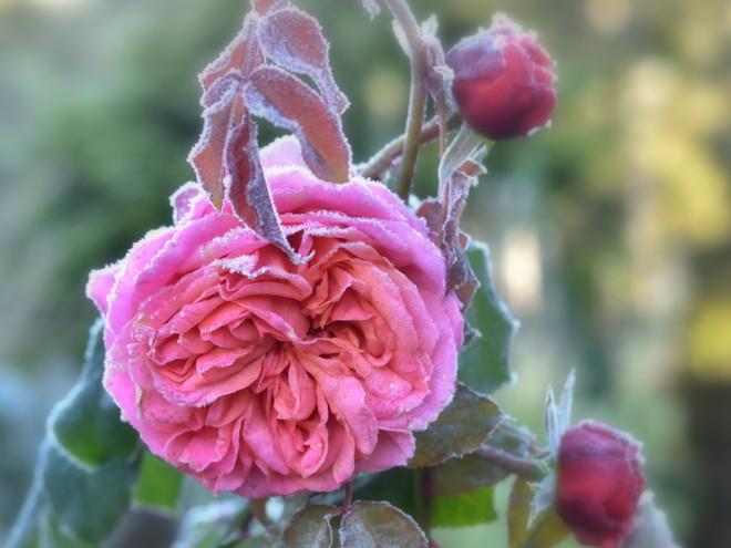 Zmrożona róża Mary Ann