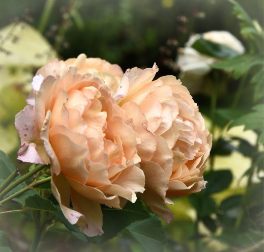 Róża Sonnenwelt