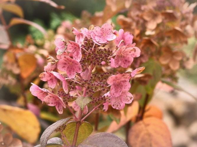 Październikowe kwiaty hortensji