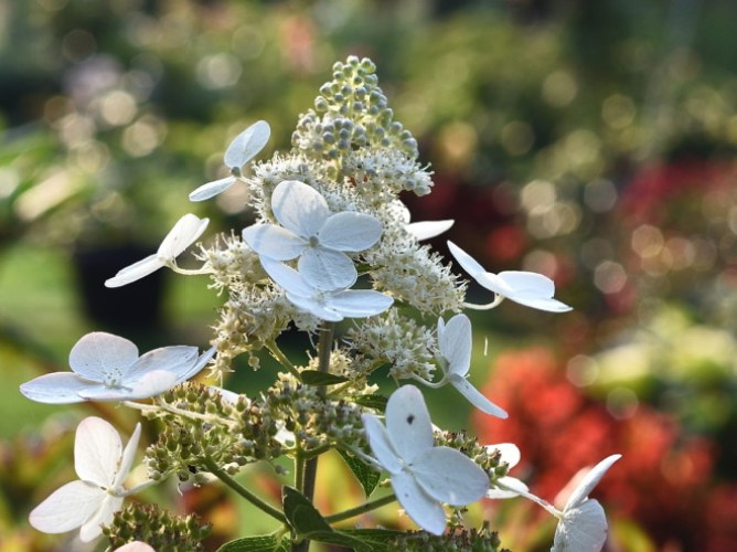 Kwiatostan hortensji bukietowej