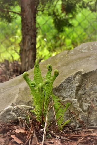 Paprociowe pastorały wiosną