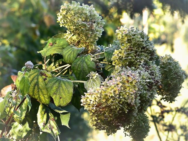 Kwiaty w jesiennym szronie