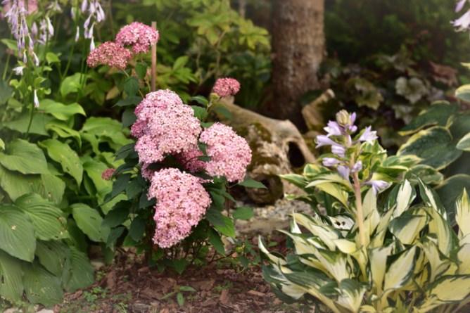 Hortensja Pink annabelle