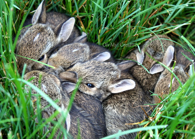 Baby Bunnies Nesting in the yard - Oh My! Creative