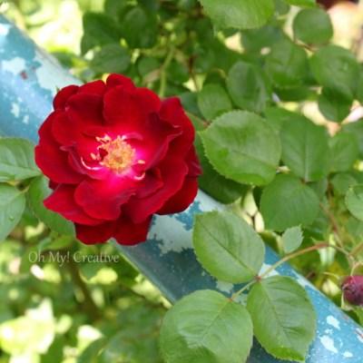 Photo Friday #6 – Wild Red Rose