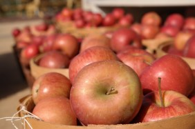 bushels of red apples
