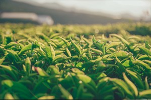 Tea Leaves - Tea Garden