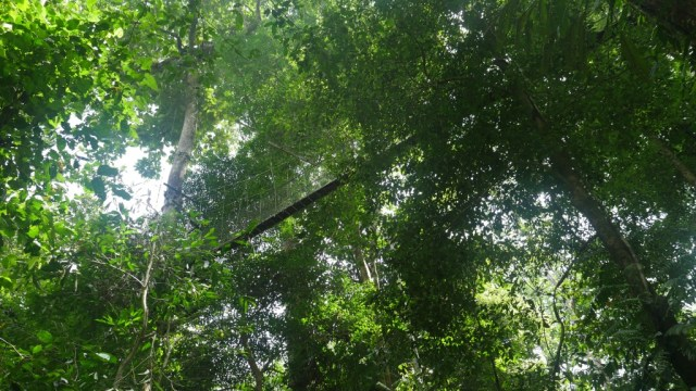 Canopy walk in Mulu