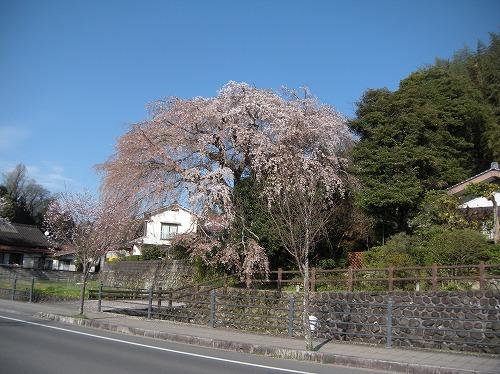 大原大しだれ桜2014.3.31